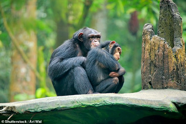 A new study suggests orphaned chimpanzees face lifelong setbacks, even if they were juveniles when they lost their mothers.Researchers believe chimps learn advanced foraging techniques and social skills well into their teen years