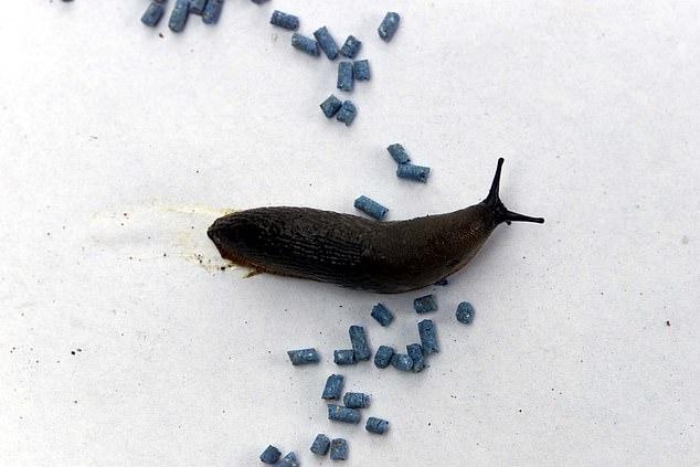 A ban on slug pellets containing metaldehyde has given farmers and gardeners a headache