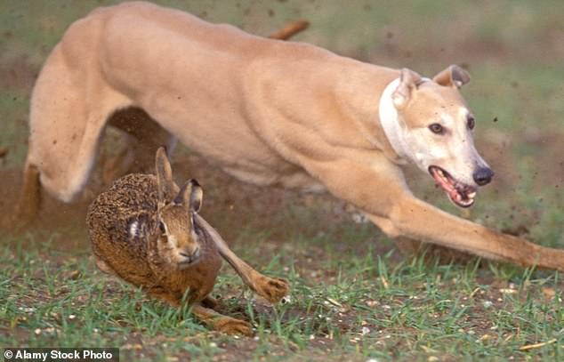 Hare coursing, where dogs chase hares by sight rather than scent, is most common between September and March when fields have no crops growing, enabling them to see their prey