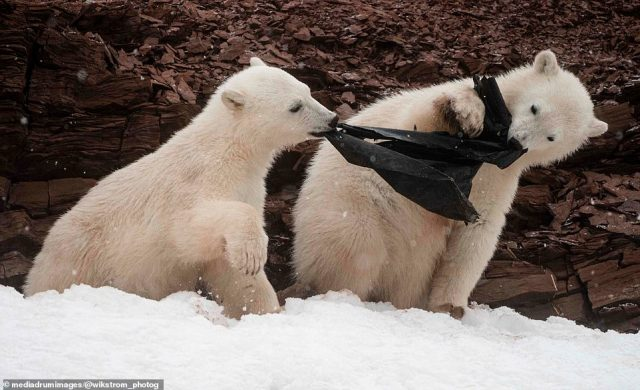 A pair of two-year-old sibling polar bear cubs were also playing tug-of-war with a black plastic bag they had found in the snow
