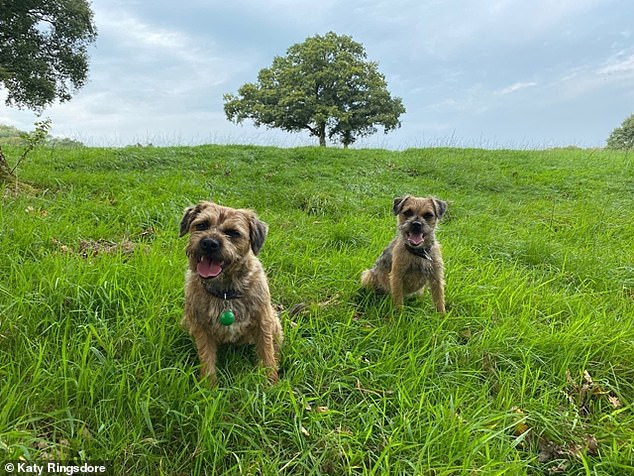 Owner Katy Ringsdore, 36, said that when she went to check on the noise she found the delivery man laughing and the puppies licking him all over.  Pictured: Teddy and Betty, the Border Terrier puppies
