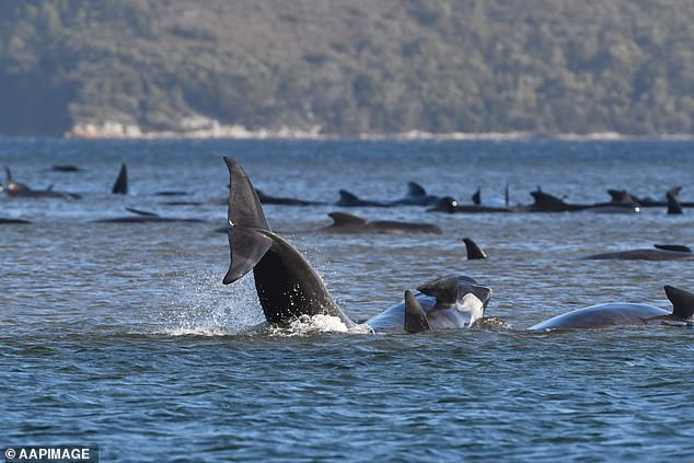 The desperate rescue effort continues to save a massive pod of whales (pictured) who became stranded on a sandbar at Macquarie Harbour in Tasmania on Monday morning