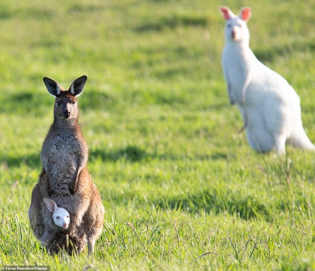 An eastern grey kangaroo (left) has given birth to an albino kangaroo that looks just like his dad (right)