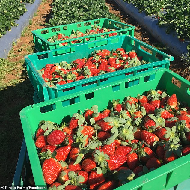 The cost of fruit and vegetables could double by Christmas because unemployed Australians refuse to move out to regional farms to work