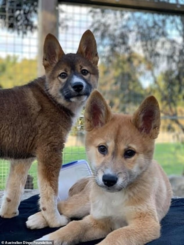 Sooty and Sassafras are both alpine dingoes, one of three dingo 'ecotypes' in Australia. They can be darker in colour and grow a second coat of fur to stay warm in high altitudes unlike their tropical and desert counterparts