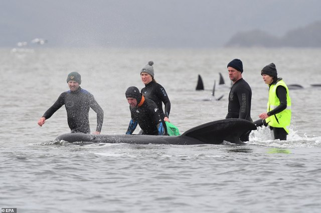 Rescue workers in thermal wetsuits to prevent hypothermia work to try and free a pilot whale stranded on a shallow sandbar near Macquaire Harbour in Tasmania