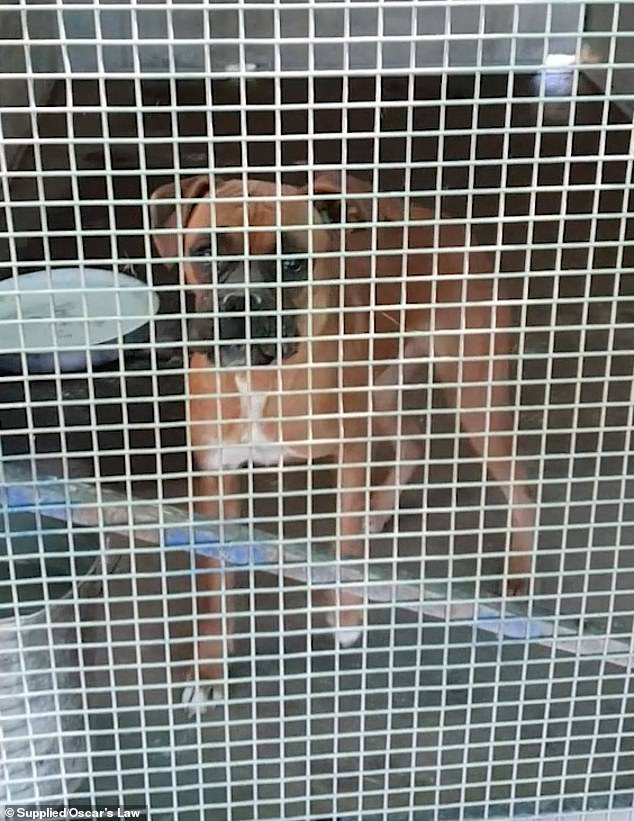 The business, which was charged in 2015, has also been accused of breaching breeding regulations (pictured, a boxer on the farm)