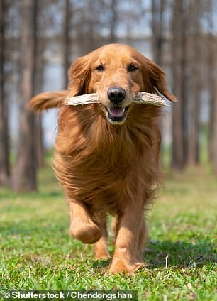 Golden retrievers are one of the most playful dog breeds