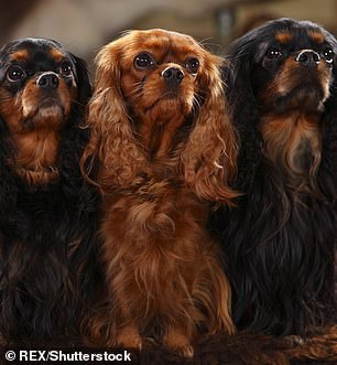 Cavalier King Charles spaniels (pictured) are not a particularly playful dog breed