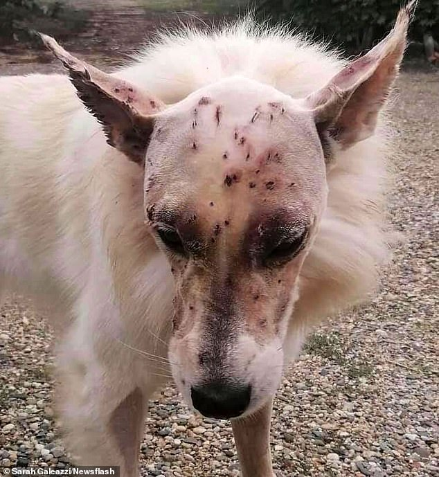 Naiko,a three-year-old white Swiss shepherd who was shot more than 40 times in the head by a shotgun, has remarkably survived