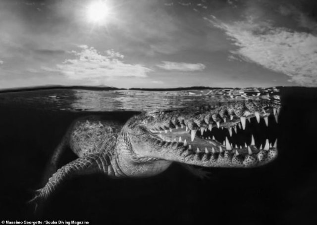 This image was taken byMassimo Georgette in Jardines De La Reina, Cuba. It shows a crocodile lurking just below the surface of the water. Georgette said she had to be in the water with the crocodiles for three days. The image received an honourable mention
