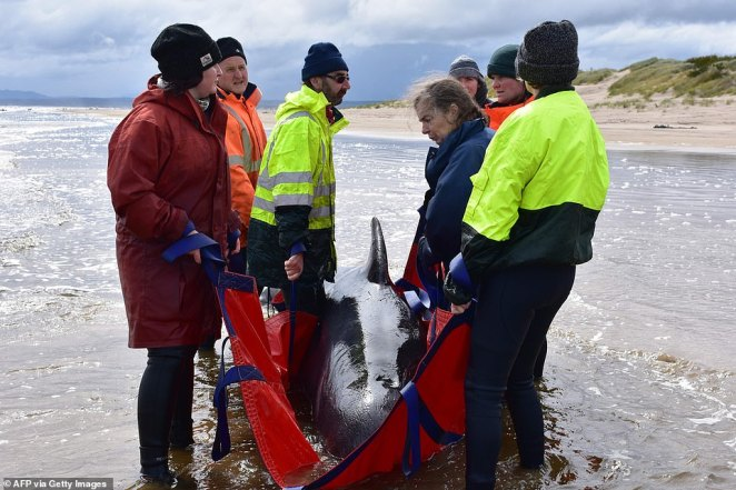 A team of 100 volunteers and conservationists have raced to save a massive pod of distressed pilot whales thatbecame stranded on the sandbanks at Macquarie Harbour (pictured), off Tasmania's west coast, on Monday
