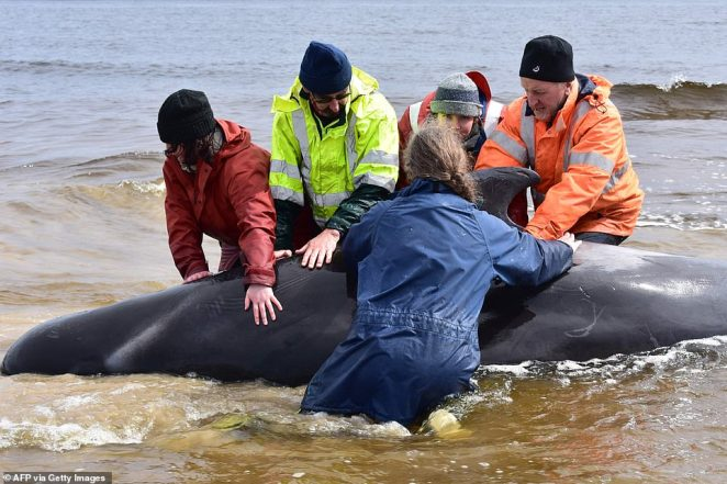Pilot whales (rescue crew pictured on Friday) are highly social creatures and can grow up to six metres (20 feet) long