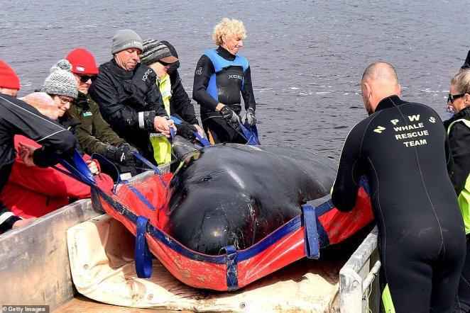 Rescuers use a tarp to transport a pilot whale off a sand bar after the mass stranding on Tasmania's west coast on Thursday