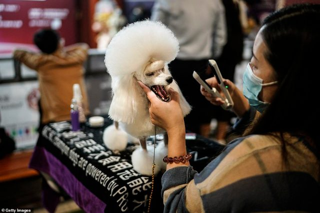 The first known cases of COVID-19 emerged in Wuhan late last year, a city of 11 million people, before the virus spread across the world, killing hundreds of thousands and crippling economies.A woman wearing a mask trims the hair of a poodle during the National General Kennel Club branch Competition in Wuhan, Hubei province on September 27