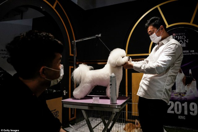 People wearing face masks are pictured trimming and brushing their pets¿ hair, making the last-minute preparations for animal contestants before they hopped onto the stage.A man wears a mask while trimming the hair of a dog during the National General Kennel Club branch Competition in the central Chinese city Wuhan on September 27