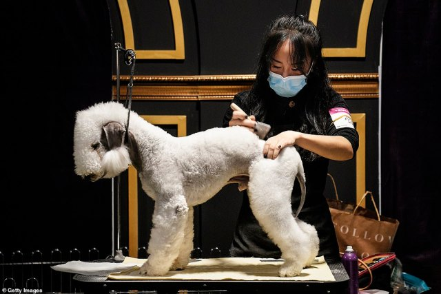Pictures show the dogs posing and trotting in front of the judges while mask-donning owners are seen carefully trimming their pets¿ hair, preparing them for the big moment under the limelight