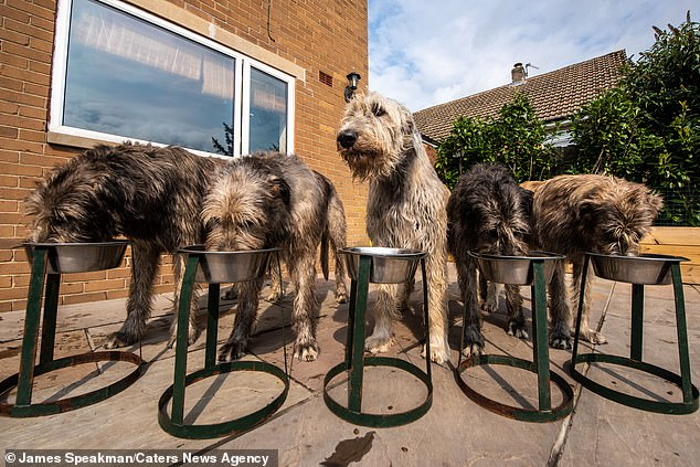 Five of the ten wolfhounds enjoying their meal in the family's courtyard. The dogs have their own kitchen and bathroom