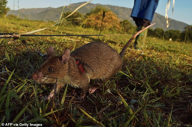 An African giant pouched rat sniffs for traces of landmine explosives at APOPO's training facility in Tanzania. This month, a UK pet charity awarded one of the rats a gold medal for 'devotion to duty'