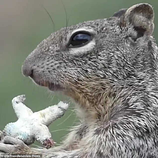 Jeff pulled out his camera and filmed the squirrel enjoying its meal. As he zoomed in it was clear that internal organs and what appear to be eggs were dangling from the lizard