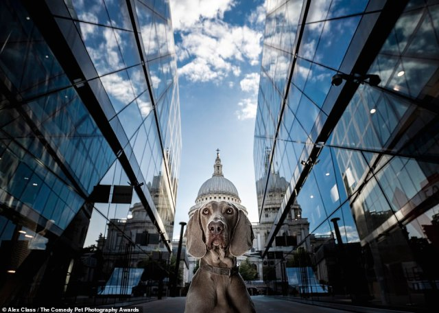 Alex Class captured his Weimaraner dog in London, making it look like he was wearing St Paul's Cathedral's cupola as a hat. Alex said: 'I've always been keen on architectural photography, on leading lines, on creative perspectives. I had a walk around London with Kyte and his owners. Kyte is a lovely nine-year-old Weimaraner. I had been eyeing up this spot for a while and just waiting for the right face to wear St Paul's cupola'