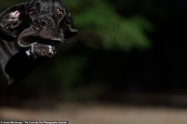 Annet Mirsberger photographed this Mastiff, and called his portrait 'Shocked Mastiff.' She explained: 'During a photoshoot, this gorgeous Mastiff made some funny faces - I hope not because of me'