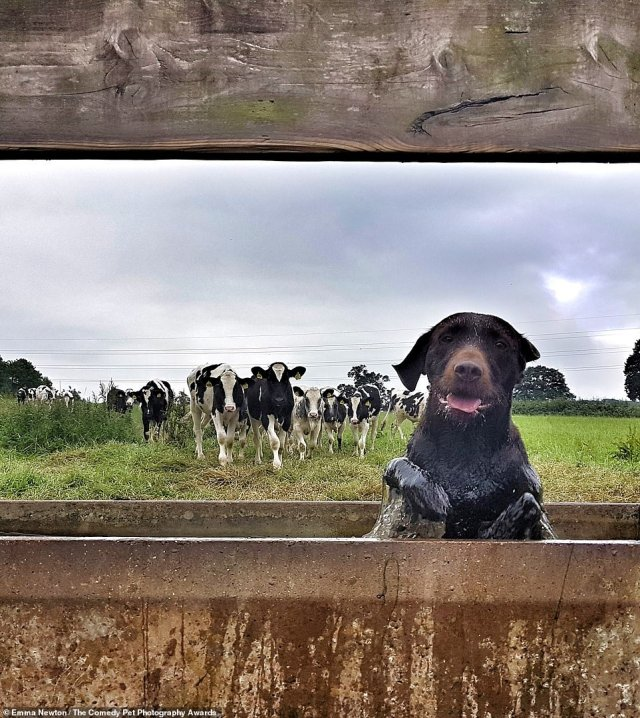 'Matilda Fleeing the Cows', taken by Emma Newton, from the UK, shows a dog in a precarious situation. Photographer Emma said: 'Matilda stopped for a quick cool down until she realised the field's resident's were approaching at speed'