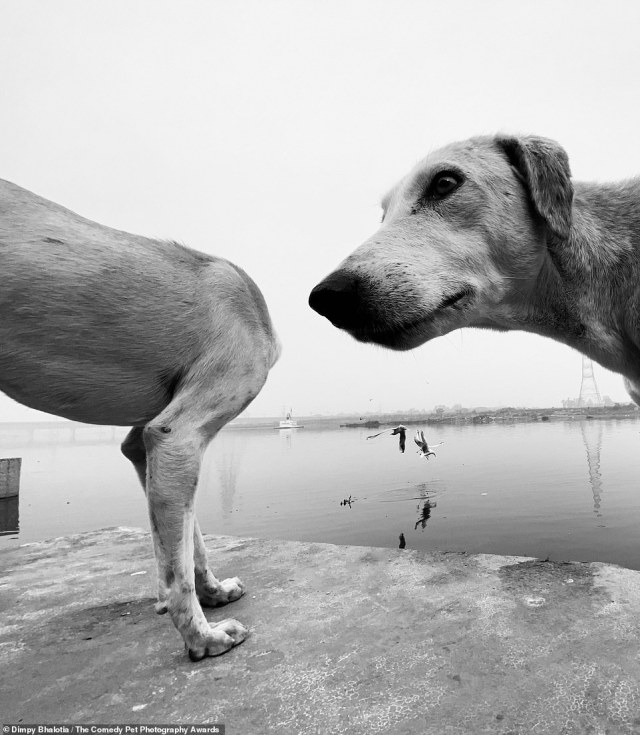 Dimpy Bhalotia, from India captured her dog, who seemed fascinated by another pup, and called it 'Ohhhhhhhhh'. Dimply said: 'This happened in a fraction of a second and I couldn't stop laughing'
