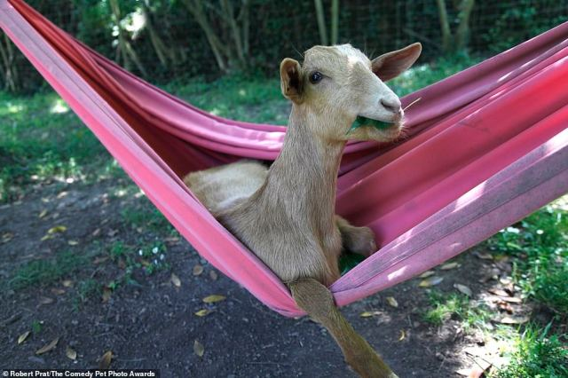 Robert Prat, from Spain, shared this picture, called 'Goat relax time' and explained: 'We have a goat in our house, she lives in the garden. One day we saw that she was playing with the hammock, she put put the front paws on top , it was very funny. A few days later, we got home and we realised she was completely inside the hammock! We gave her some leaves to take the photo better'