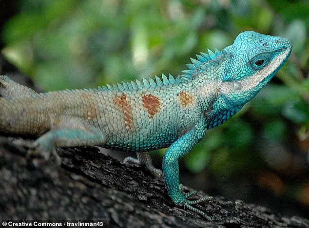Among the species being traded are those of the genus cyrtodactylus and the blue-headed Indo-Chinese forest lizard, Callotes mystaceus, pictured, the researchers said