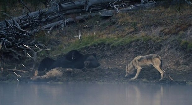 A grizzly bear in Yumstone National Park, Wyoming, defends the body of a cub that was killed and buried by a gray wolf.