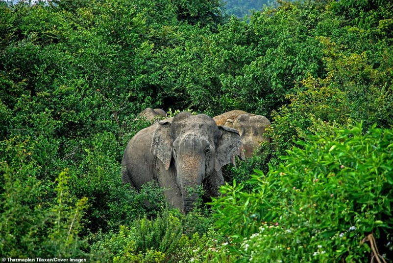 Três elefantes Oluvil estão próximos um do outro em seu habitat natural na selva. O lixão lentamente invadiu a floresta adjacente, tornando-se facilmente acessível aos elefantes