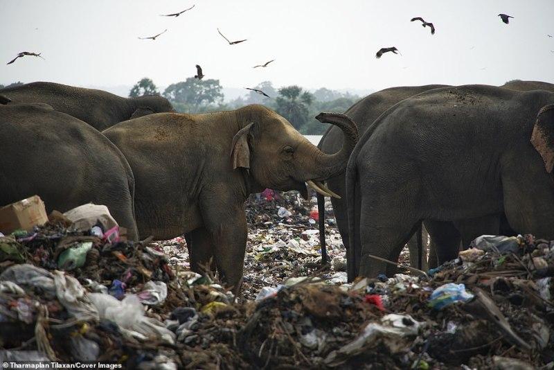 Uma manada de 25 a 30 elefantes selvagens visita regularmente o depósito de lixo a céu aberto em busca de alimento, apresentando riscos à saúde