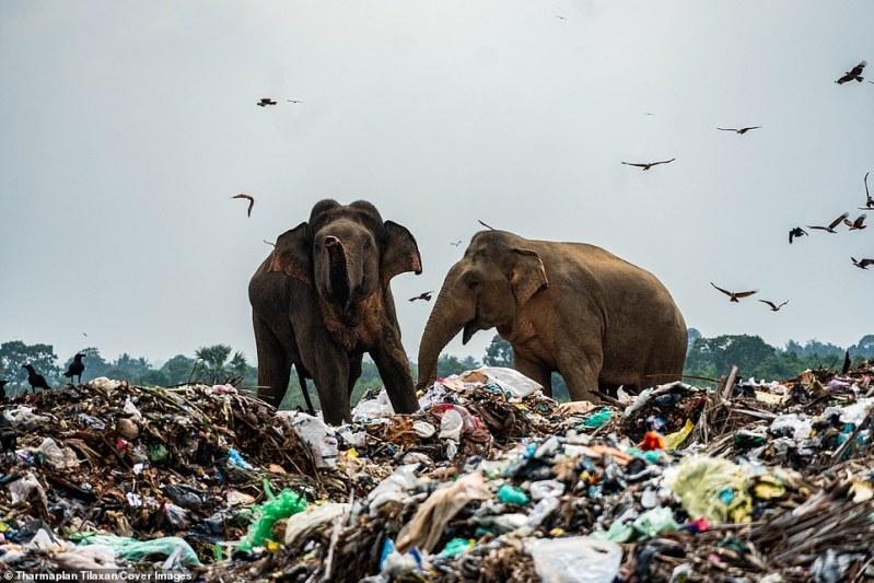 Dois elefantes comem em busca de comida no depósito, enquanto pássaros necrófagos se juntam para colher o que sobrou. Embora houvesse uma cerca erguida ao redor do lixão, agora ela está quebrada e não pode impedir que os elefantes entrem