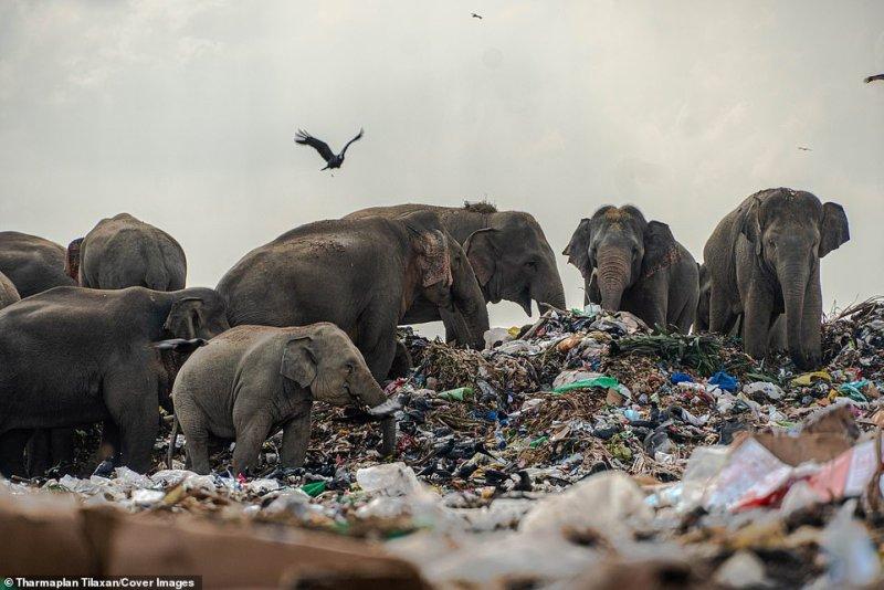 Elefantes selvagens em Oluvil, Sri Lanka, foram encontrados com produtos de plástico e polietileno não digestivo em seus estômagos após comerem lixo em um depósito de lixo invadindo seu habitat