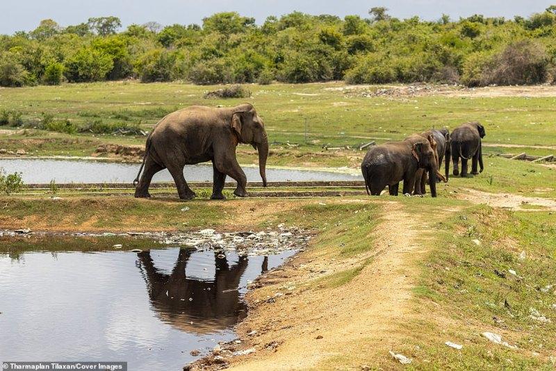 A manada de 25 a 30 elefantes agora acostumados a se alimentar tão perto do habitat humano também começou a invadir campos de arroz e vilas próximas em busca de mais comida