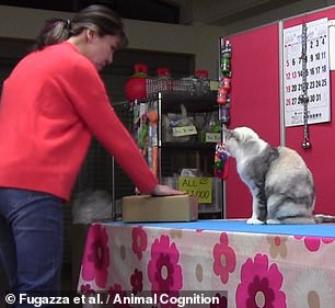 """Our experience provides the first evidence that the Do as I Do paradigm can be applied to cats,"" Eötvös Loránd University animal behavior expert Claudia Fugazza and colleagues wrote in their article.  After owner Fumi Higaki touches a cardboard box (pictured), Ebisu does the same"