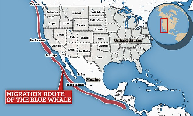 Blue whale migration stretches down from the west coast of North America to Central America for breeding in the winter.Blue whales travel back towards the poles in the spring to take advantage of high zooplankton production for feeding