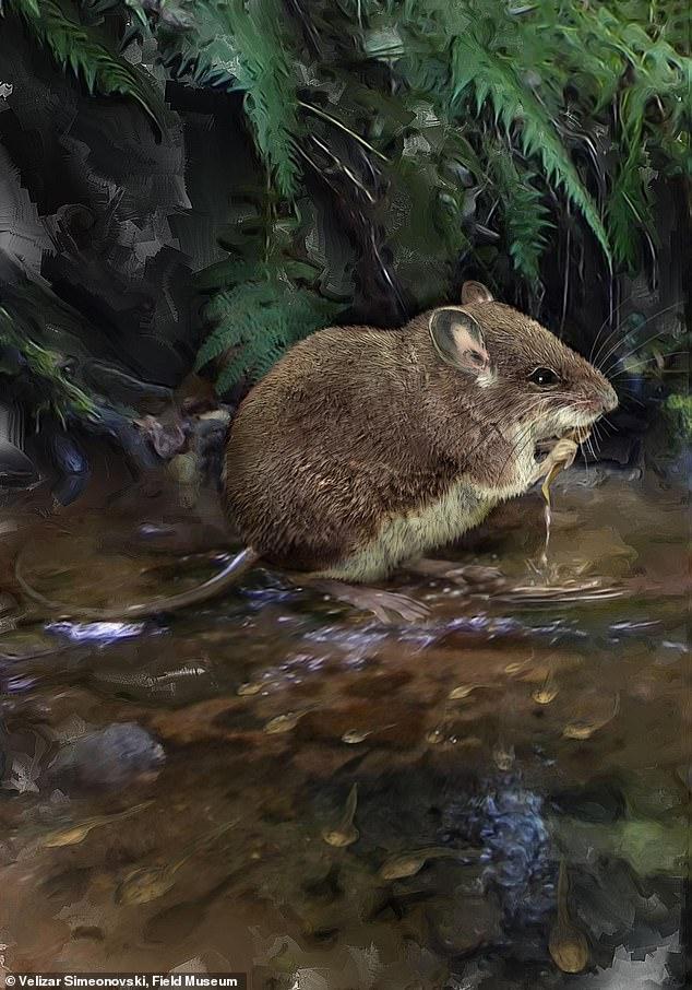 An illustration of one of the newly-described species of stilt mouse, Colomys lumumbai, wading in a stream to hunt