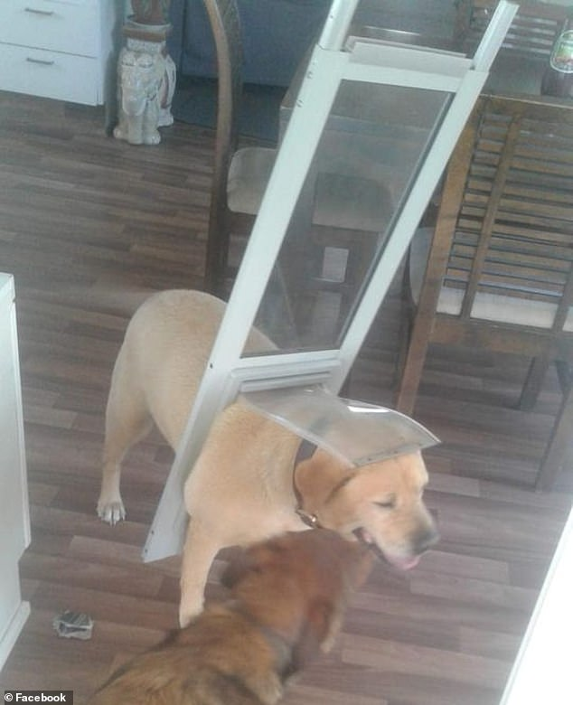 Ms Hulley posted cute pictures of 'chonky boy' stuck in the doggy door (pictured) on the Dogspotting Society Facebook page