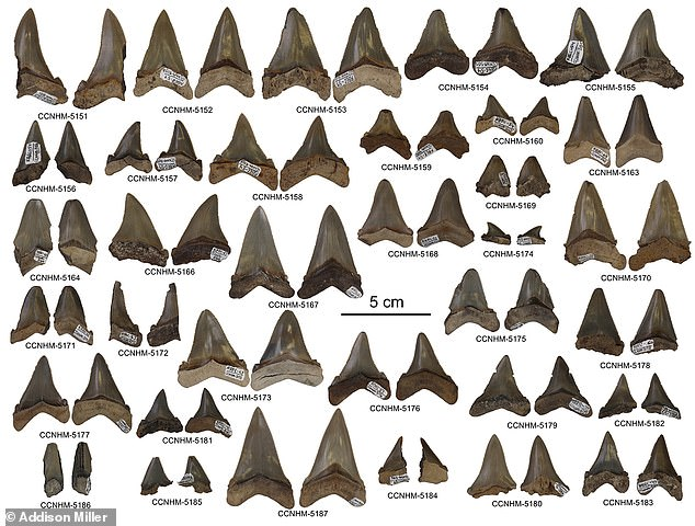 Approximately 87 teeth were found near Summerville, South Carolina in the fossil-rich Chandler Bridge Formation, along with the nearby Ashley Formation