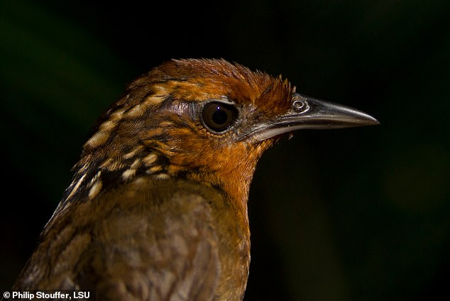 The iconic voice of the Amazon rainforest, the Musician Wren, is one of the birds that researchers have discovered is on the decline in pristine, remote parts of the Amazon