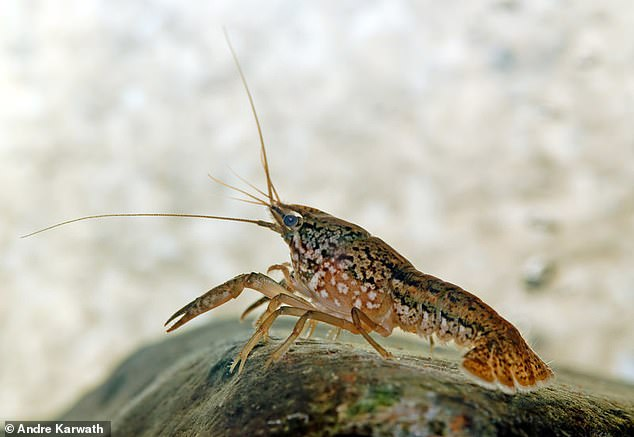 Marbled crayfish reproduce asexually through parthenogenesis - meaning embryos develop without the need for sperm and  all offspring are genetically identical females. Their populations can grow rapidly and quickly threaten local biodiversity