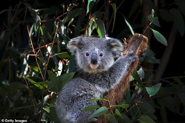 A young female koala fondly named 'Ash' is seen sitting on a Eucalyptus branch following a general health check at the Australian Reptile Park on August 27, 2020 on the Central Coast in Sydney, Australia