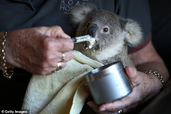 Barbara Barrett, a Port Macquarie Koala Hospital volunteer of 20 years, cares for a 8 month old koala joey named Livvy orphaned following a car accident. The plight of the koala received global attention in the wake of Australia's devastating bushfire season
