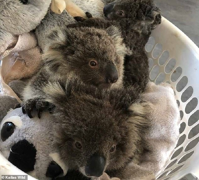 Over seven weeks, Mr Wild rescued more than 100 injured koalas and took them to the wildlife park for treatment (some pictured)