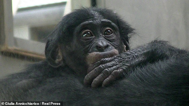 Female bonobos develop bonds with each other in order to build up social power, which they use to assert themselves against the males of the species