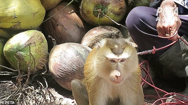 he terrified young monkeys are forced to perform frustrating and difficult tasks, such as twisting heavy coconuts until they fall off the trees from a great height. An investigator learned that if monkeys try to defend themselves, their canine teeth may be pulled out