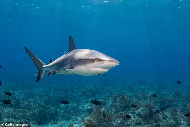 The species of the shark has not been confirmed but Mr Turnham said it may have been a small reef shark (pictured)