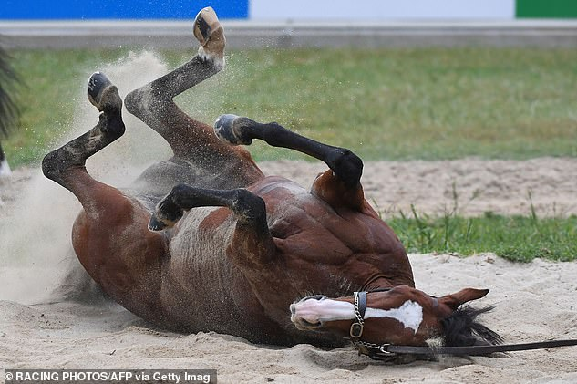 One of the favourites Anthony Van Dyck broke down and had to leave the track by ambulance after failing to finish the 3200m race. Pictured:Irish horse Anthony Van Dyck enjoying a sand roll after galloping at Werribee Racecourse on Monday